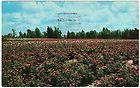 1959 Tyler Texas Rose Capitol, TX, chrome postcard